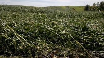 flattened corn field