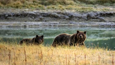 Grizzly bears in Yellowstone.