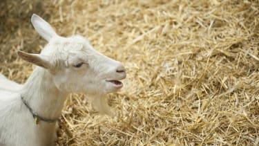 A goat in his enclosure