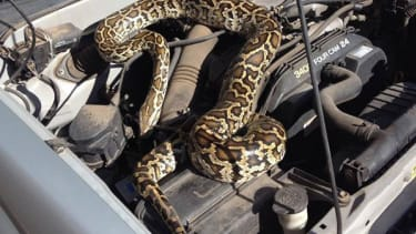 Woman finds python in engine block of stalled pickup truck
