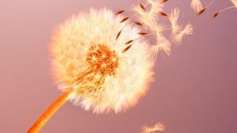 A dandelion blowing in the wind.