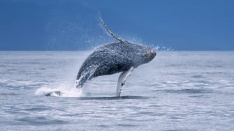 This is a more affordable way to track whales.