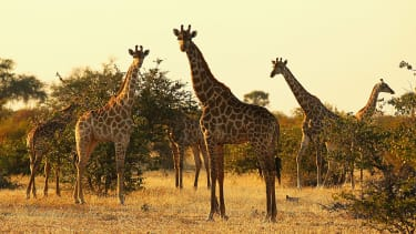 Giraffes are a vulnerable species.