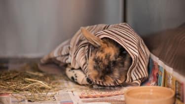 A rabbit after surgery.