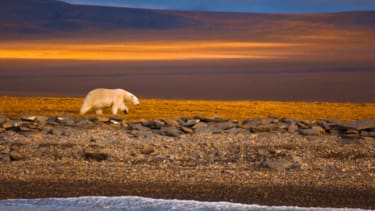 Land-trapped polar bear