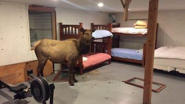 An elk in an Idaho basement