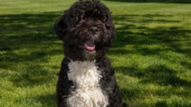 The official portrait of the Obama Family Dog 'Bo' sitting on the South Lawn of the White House.