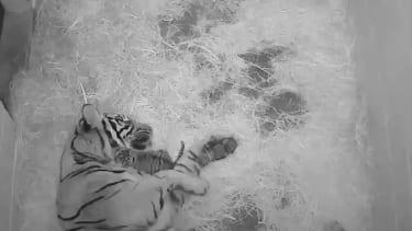 Sumatran tiger female Damai and her newborn cub.