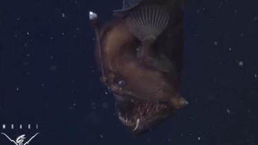 Deep sea-dwelling anglerfish caught on camera