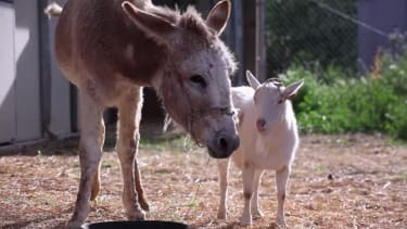 Depressed goat lifts hunger strike after reuniting with donkey friend