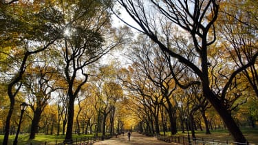 American elm trees are dying out, but there may be a way to save them.
