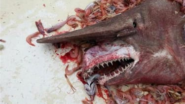 Rare, ugly goblin shark caught in the Gulf of Mexico