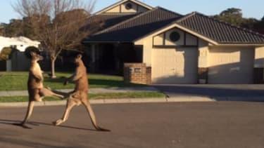 Two kangaroos duke it out on a suburban street in Australia