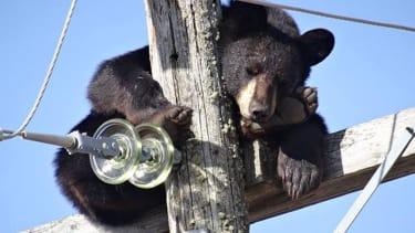 Bear takes 'power nap' atop Saskatchewan electricity pole