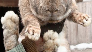 Rabbit dies on United airlines flight.