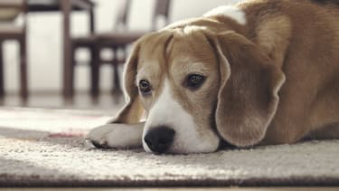 Can dogs suffer from depression?