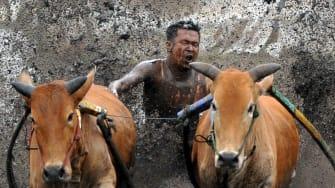 A cow racer.