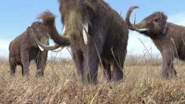 Scientists are trying to bring back the woolly mammoth
