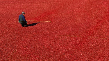 A worker harvests cranberries at a cranberry farm in Manseau, Quebec.