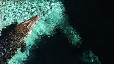 Crocodile swimming at a zoo.