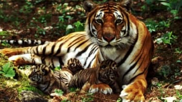 The number of tigers has reportedly dropped 97 percent in the past century.