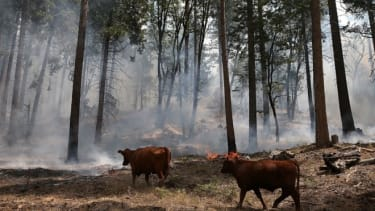 Cows walk through a section of forest that was burned by the Rim Fire outside of Camp Mather on August 24, 2013 near Groveland, California.