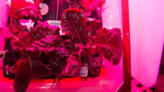 space lettuce