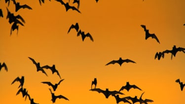 Scientists discover bats 'jam' each other's sonar when competing for food