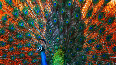 A very supportive peacock.
