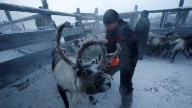Herders select and sort reindeer.