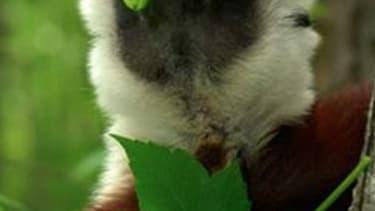 Beloved lemur 'Zoboomafoo' dies at age 20