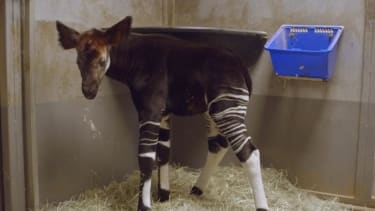 Watch this adorable okapi get used to being on four legs