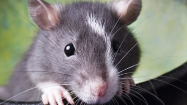 Study: Infant rats can sense their mothers' fear using smell