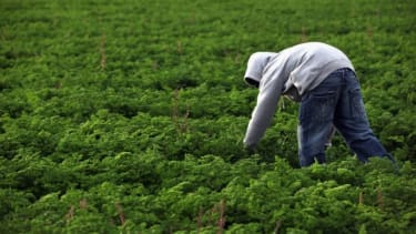 A Mexican immigrant worker harvest organic parsley in Wellington, Colo.