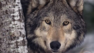 The American wolf population has jumped from just a few hundred in the lower 48 states in 1973 to roughly 6,000 today.