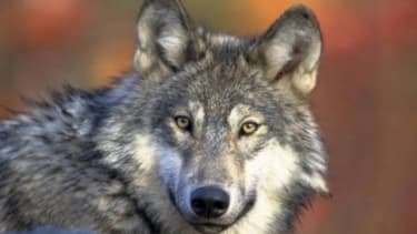 Some endangered animals, like the gray wolf, will no longer be protected because of budget cuts: Federal funding for high-speed rail and the United Nations was also trimmed in an 11th-hour de