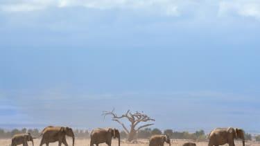 Kenya's elephants