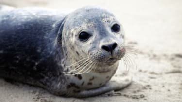 """""""Seal flu,"""" more formally known as H3N8, was previously only found in North American ducks, but it has recently left more than 100 seals dead."""