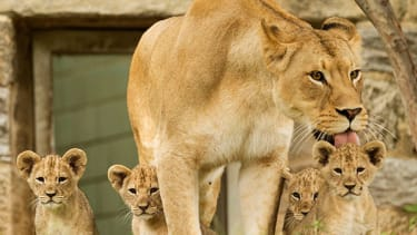 Adorable lion cubs make their debut at the Philadelphia Zoo