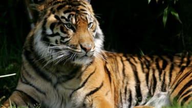 A Sumatran tiger.