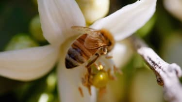 This is buzzworthy: The White House is ramping up efforts to save the honey bee