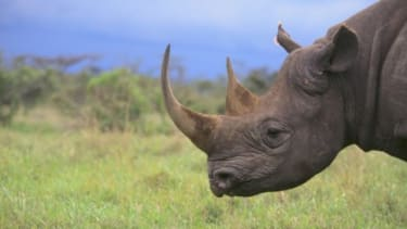 Crushed rhino-horn powder can sell for as much as $25,000 per pound on the black market.