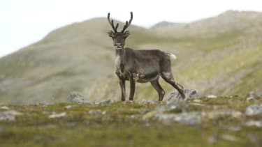 Study finds reindeer populations are rapidly decreasing