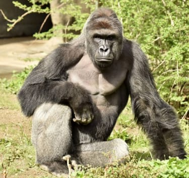 17-year-old gorilla killed at Cincinnati Zoo