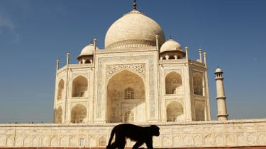 A monkey in front of the Taj Mahal.
