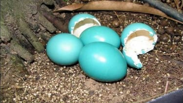 This bird's gorgeous eggs are naturally iridescent