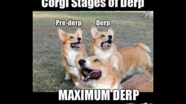 Corgi derp