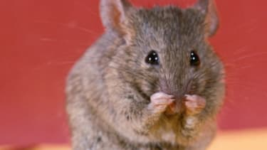 Scientists say they can turn straight female mice gay.