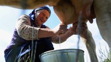 Woman milking a cow.