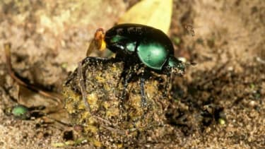 They may have bad taste in sustenance, but dung beetles sure are resourceful at night.